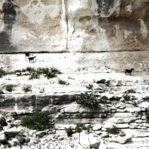 Canyon Goats